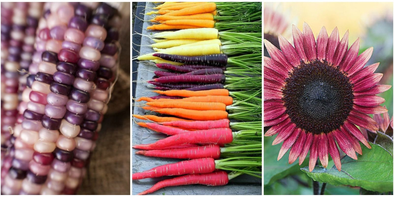 Turn Your Garden, Yard, And Dinner Table Into A Colorful Scene By Getting  Yourself Some Of These Unique Seeds So You Can Grow Pink Sunflowers, ...