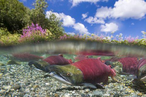 Water, Sockeye salmon, Fish, Pink, Botany, Underwater, Salmon, Wildlife, Watercourse, Fish,