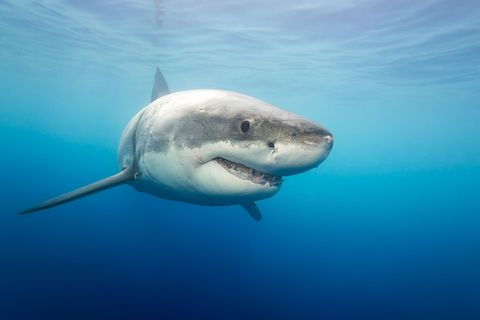 Great white shark, Shark, Lamniformes, Fish, Cartilaginous fish, Lamnidae, Tiger shark, Carcharhiniformes, Marine biology, Bull shark,