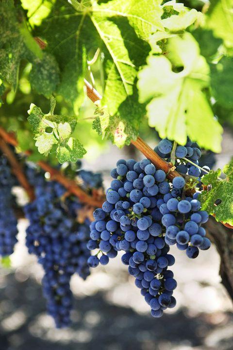 Grape, Grape leaves, Seedless fruit, Plant, Fruit, Grapevine family, Blueberry, Zante currant, Flowering plant, Vitis,