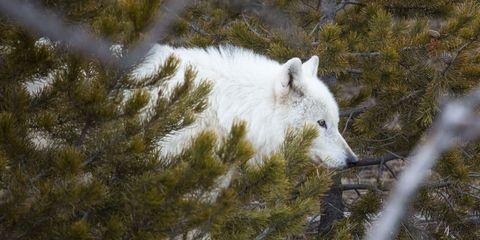Yellowstone white wolf