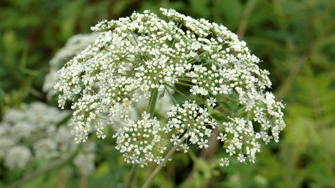 Flower, Flowering plant, Plant, Cow parsley, Heracleum (plant), wild carrot, Trachyspermum ammi, Parsley family, Anthriscus, Angelica,