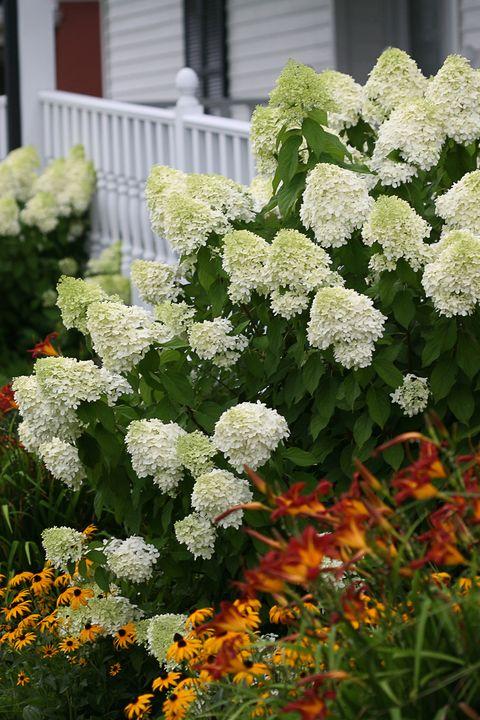 Flower, Flowering plant, Plant, White, Hydrangeaceae, Hydrangea, Botany, Shrub, Spring, Garden,
