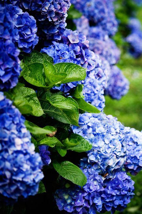Flower, Flowering plant, Blue, Plant, Hydrangeaceae, Purple, Hydrangea, Lilac, Violet, Botany,