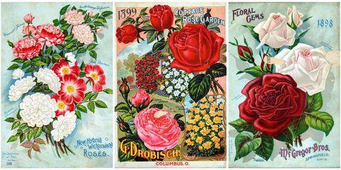 Garden roses, Flower, Rose, Rosa × centifolia, Plant, Cut flowers, Rose family, Botany, Petal, Flowering plant,