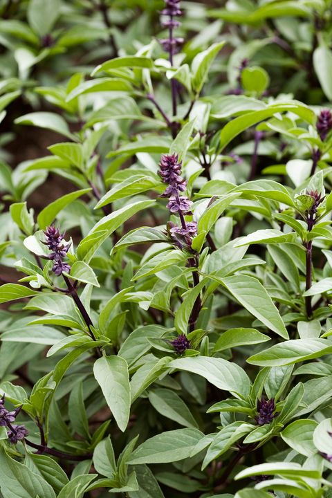 flowering herbs thai basil