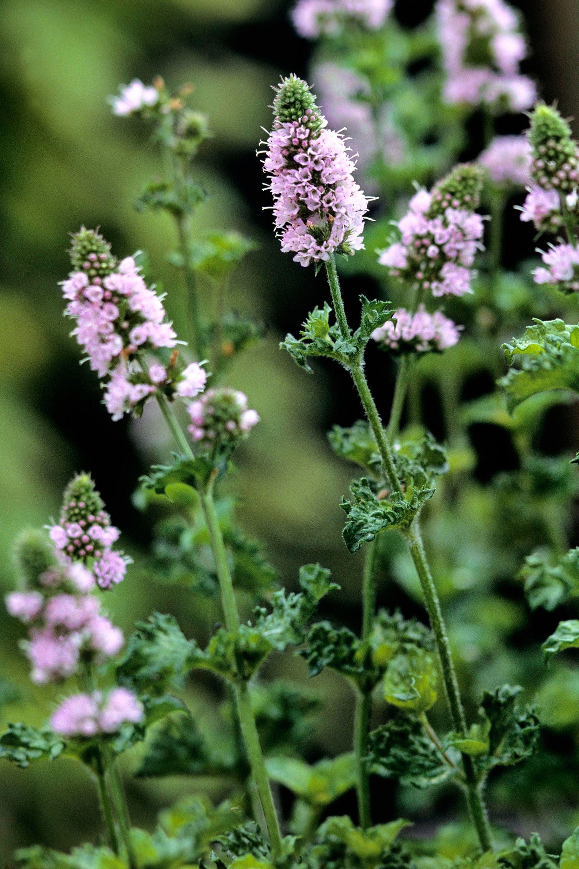 8 Best Flowering Herbs Blooming Herbs With Flowers