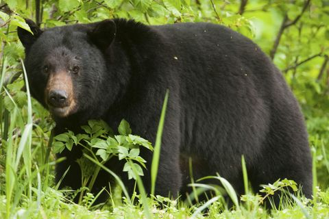 Mammal, Vertebrate, Terrestrial animal, Bear, American black bear, Nature reserve, Wildlife, Carnivore, Grizzly bear, Adaptation,