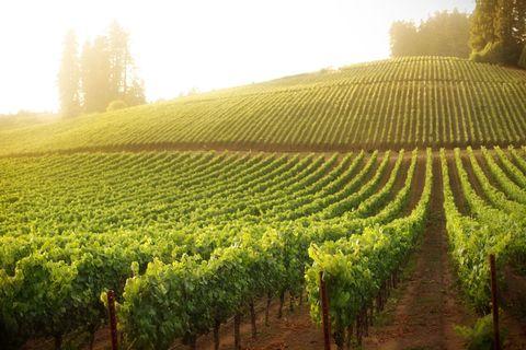 Agriculture, Cash crop, Plantation, Field, Vineyard, Crop, Morning, Plant, Farm, Hill station,