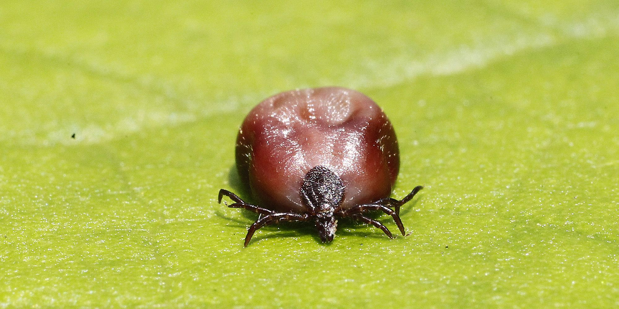 New Tick-Borne Heartland Virus Is Spreading Across the South