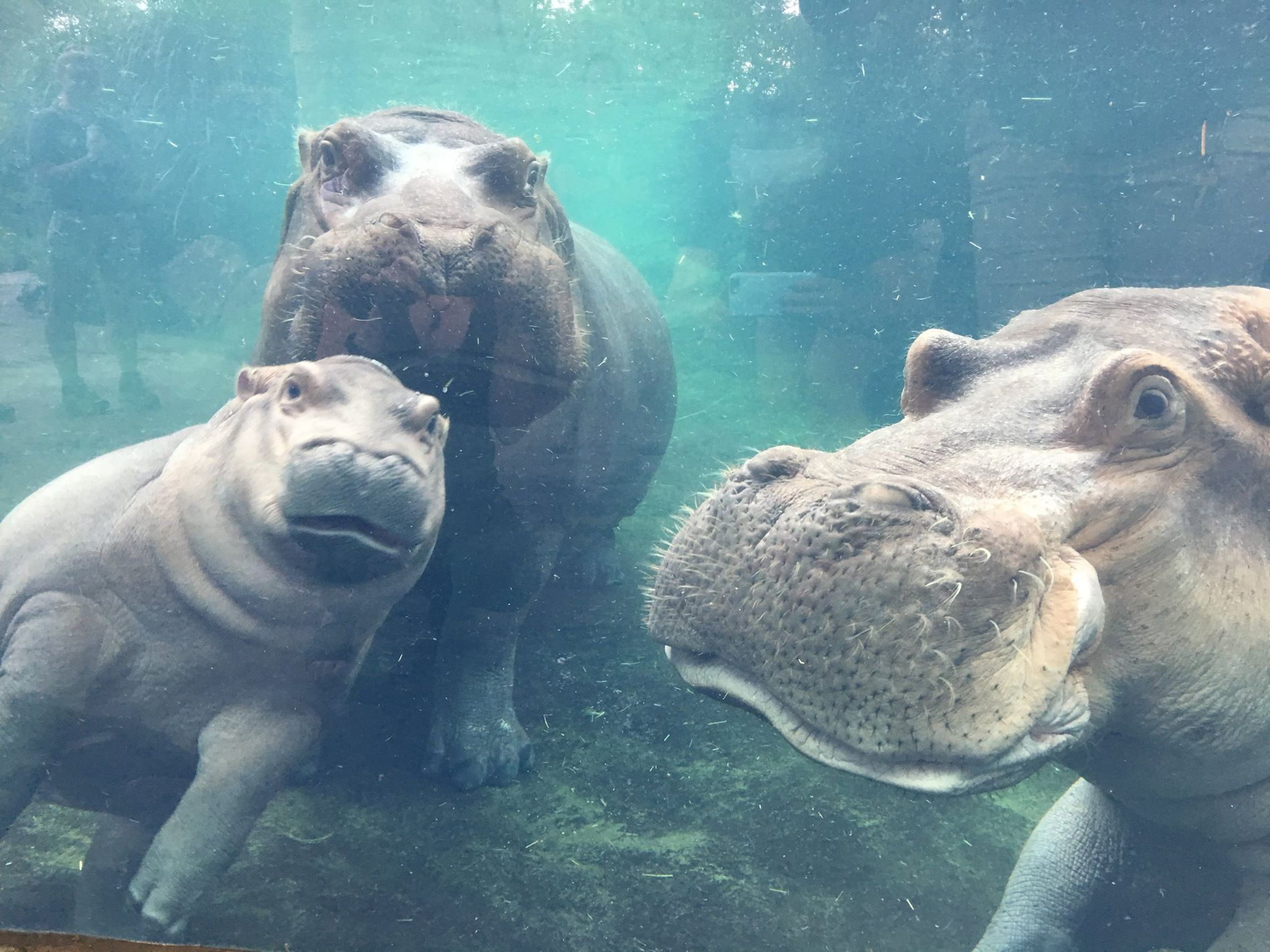 Baby Hippo Fiona Just Reunited With Her Parents for the Cutest ...