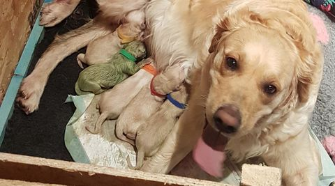 ca5b960868e5 Golden Retriever Gives Birth to Green Puppy - Why Are Some Dogs Born ...