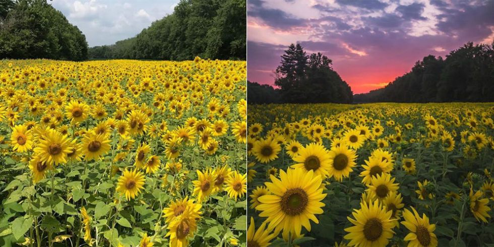 See 30 Acres Of Sunflowers In Bloom In Maryland