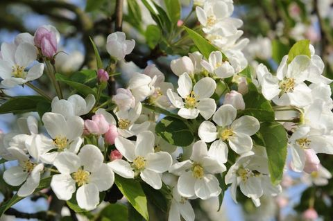 garden-ideas-on-a-budget-crab-apple-blosson