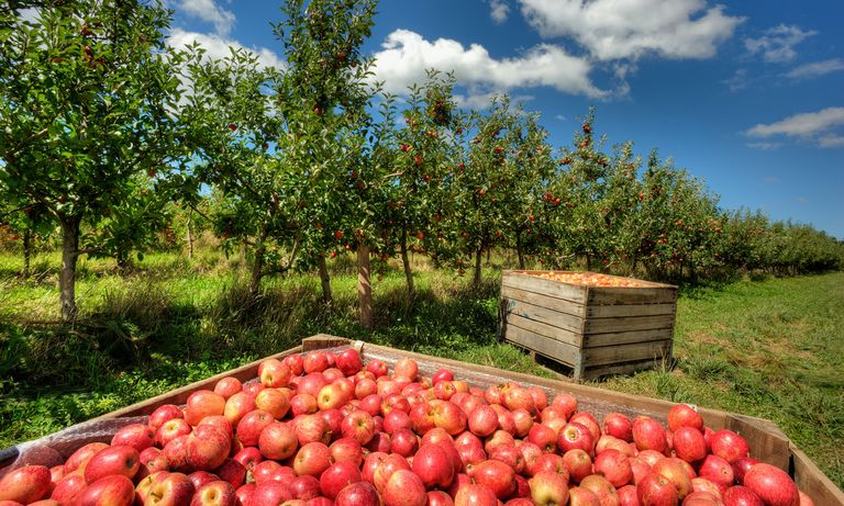 Best apple picking places near me fall apple orchard events for Where can i go apple picking near me