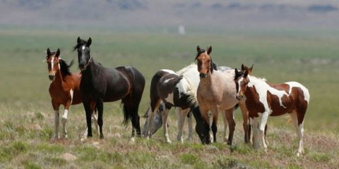 government considers euthanasia for mustangs