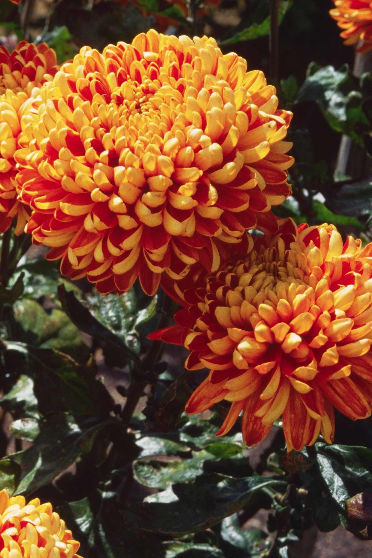 20 Fall Flowers To Plant Pretty Fall Flowering Perennials Plants