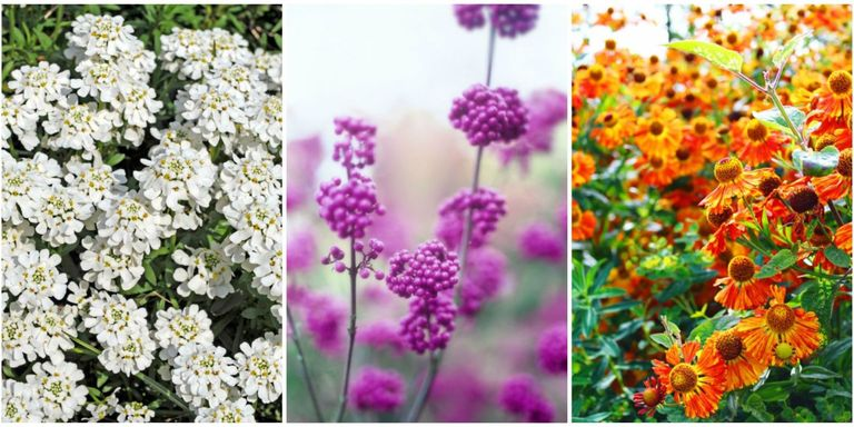 20 fall flowers to plant pretty fall flowering perennials plants getty images mightylinksfo