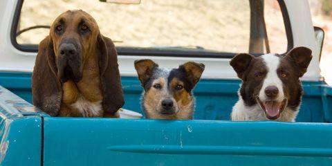 Dog, Vertebrate, Canidae, Mammal, Dog breed, Carnivore, Companion dog, Sporting Group, Puppy, Car,