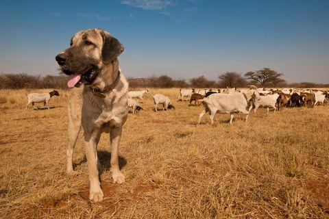 Mammal, Dog, Vertebrate, Canidae, Dog breed, Carnivore, Kangal dog, Sporting Group, Anatolian shepherd dog, Wildlife,
