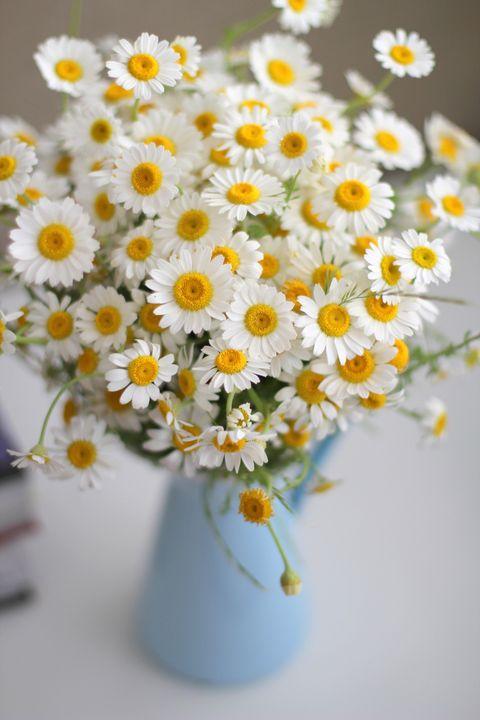 Flower, mayweed, Cut flowers, Oxeye daisy, Daisy, Chamaemelum nobile, Marguerite daisy, Bouquet, chamomile, Flowerpot,