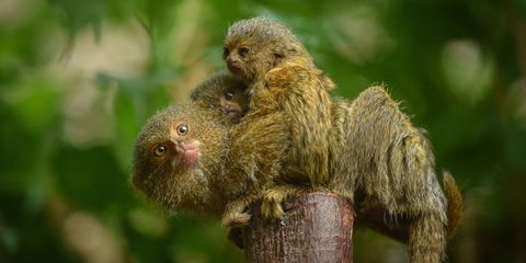 The worlds smallest monkey just gave birth to cutest twins ever voltagebd Image collections