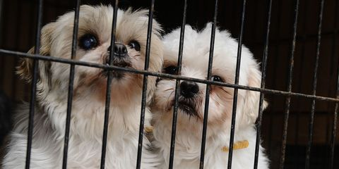 Dog, Mammal, Canidae, Shih tzu, Snout, Dog breed, Companion dog, Carnivore, Chinese imperial dog, Puppy,