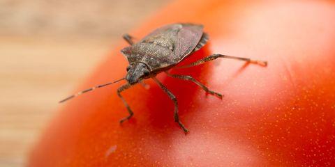 Insect, Invertebrate, Macro photography, Pest, Miridae, Bug, Beetle, Arthropod, Close-up, Weevil,
