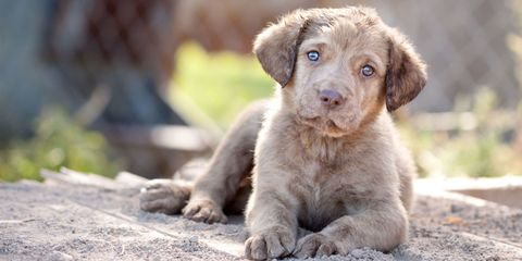 Dog, Mammal, Vertebrate, Dog breed, Canidae, Puppy, Carnivore, Retriever, Sporting Group, Labrador retriever,