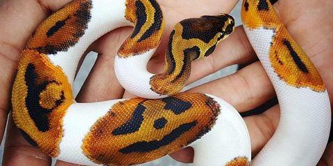 Snake, Python family, Reptile, Python, Boa, Serpent, Scaled reptile, Burmese python, Colubridae, Rock python,