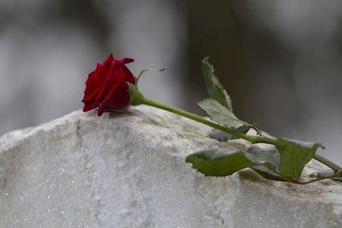 Red, Flower, Bud, Petal, Leaf, Plant, Garden roses, Plant stem, Botany, Snow,