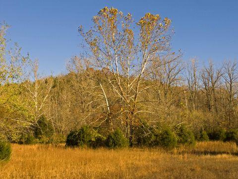 Tree, Natural landscape, Plant, Natural environment, Woody plant, Grass, Grass family, Prairie, American aspen, Savanna,