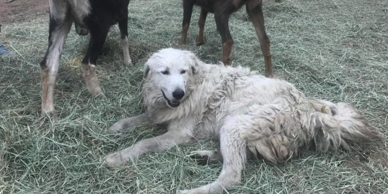 This Hero Dog Stayed Behind to Protect Baby Goats During California Wildfires