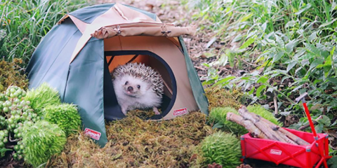 Hedgehog, Domesticated hedgehog, Erinaceidae, Wildlife, Organism, Tent, Grass, Marsupial, Virginia opossum, Adaptation,