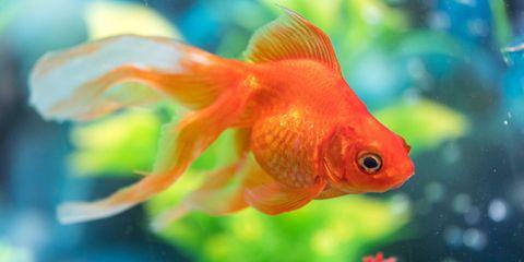 Fish, Vertebrate, Goldfish, Fish, Marine biology, Fin, Organism, Feeder fish, Freshwater aquarium, Orange,