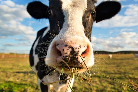 Bovine, Dairy cow, Nose, Pasture, Snout, Grass, Sky, Grassland, Cow-goat family, Livestock,
