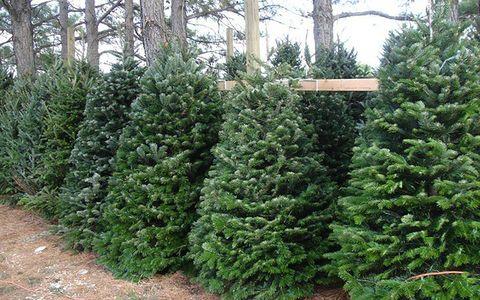 evergreen christmas tree farm texas - Bluebird Christmas Tree Farm