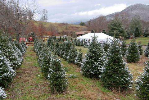 boyd mountain christmas tree farm north carolina - Bluebird Christmas Tree Farm