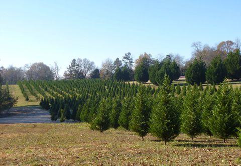 7 gs christmas tree farm georgia - Bluebird Christmas Tree Farm