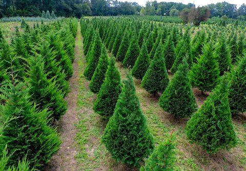 hollow creek christmas tree farm south carolina