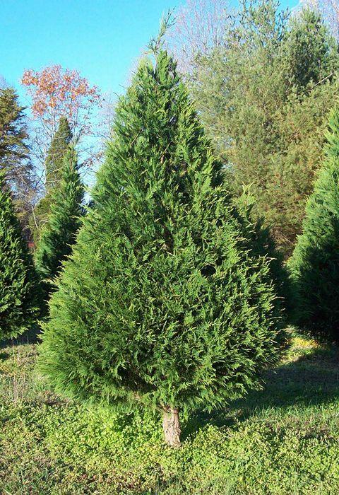 bluebird christmas tree farm tennessee - Bluebird Christmas Tree Farm