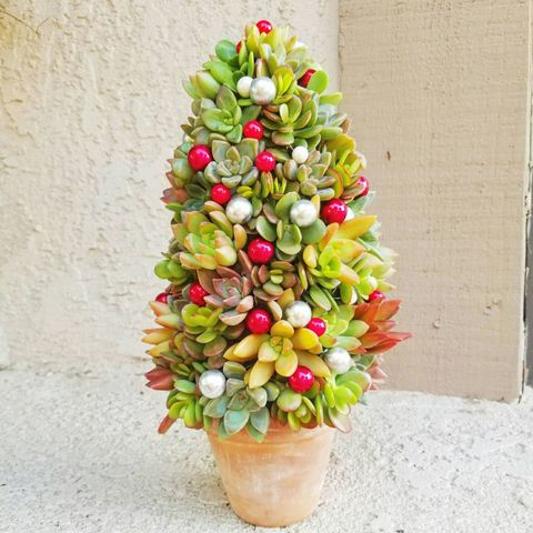 christmas tree succulent