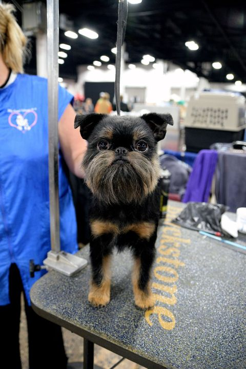 dogs at the national dog show