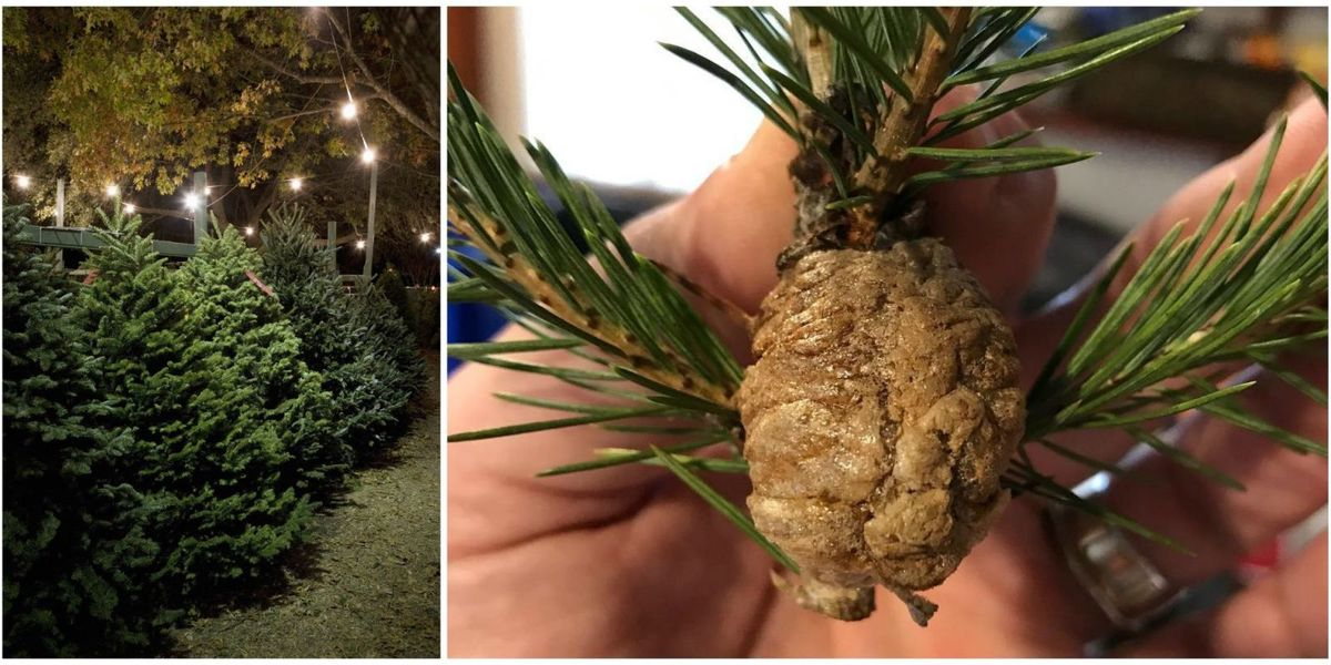 How to Spot Praying Mantis Egg Nests in Your Christmas ...