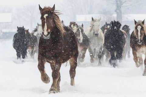 Snow, Winter, Horse, Winter storm, Atmospheric phenomenon, Herd, Freezing, Blizzard, Mane, Mare,