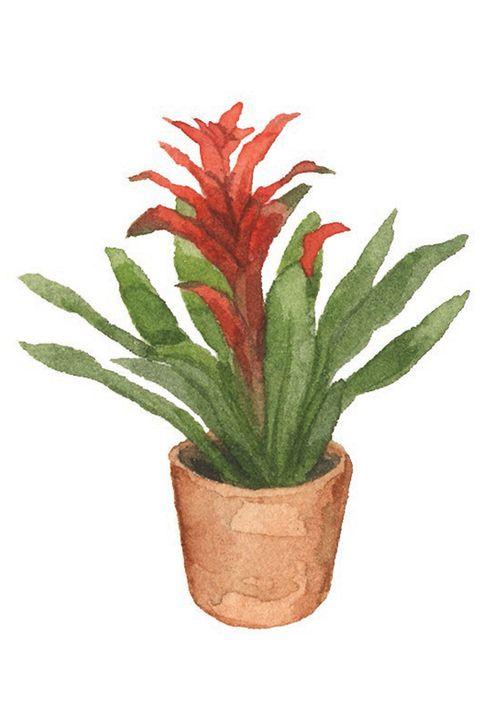 Flower, Flowerpot, Plant, Houseplant, Terrestrial plant, Flowering plant, Bromelia, Botany, Bromeliaceae, Ti plant,