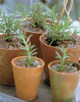 mini terra cotta pots with herbs