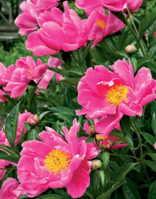 bright pink peonies