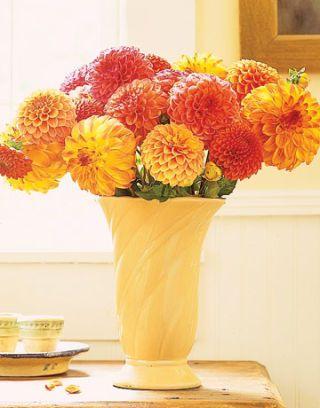 colorful dahlias in a vase