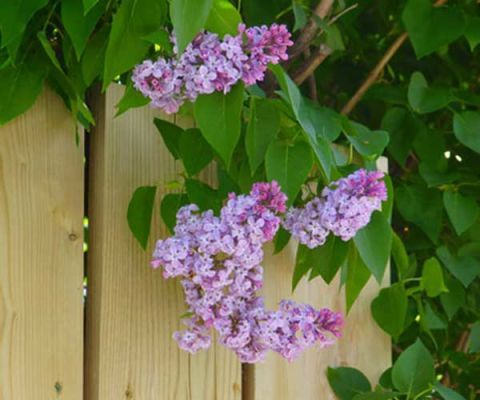 lilac tree branch with purple blooms hanging over wood fence